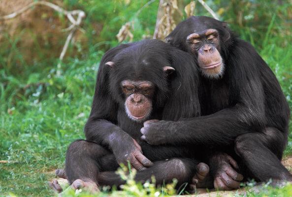 chimps 6 5 18