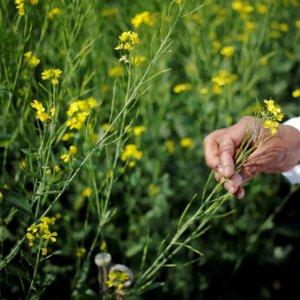 India GMO mustard 37237