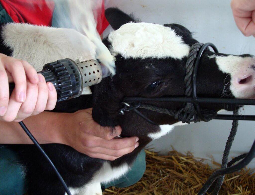 cattle dehorning 32837