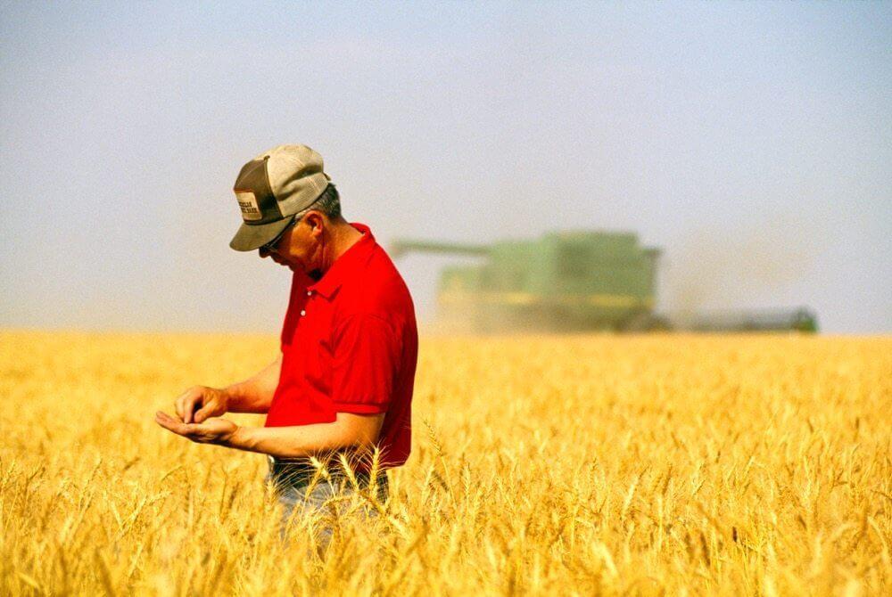 Canada finds unapproved GMO wheat in Alberta