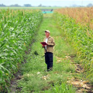 gm crops gmo maize creditciat flickr