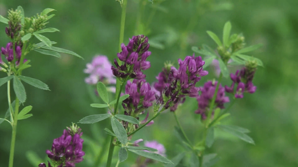 medicago sativa alfalfa lucerne in bloom medium shot alfalfa is the most cultivated forage legume in the world and has been used as an herbal medicine since ancient times v mjad F
