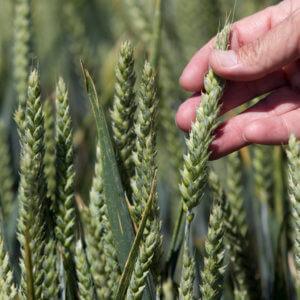 o OREGON GMO WHEAT facebook