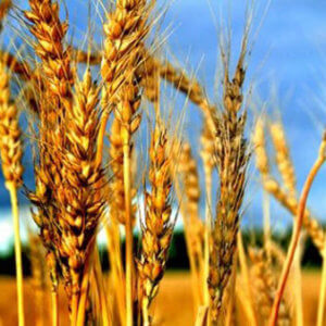 wheat celiac 3287