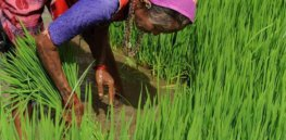 GMO crops may help keep arsenic out of India's food supply