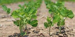 soybean yield 3823