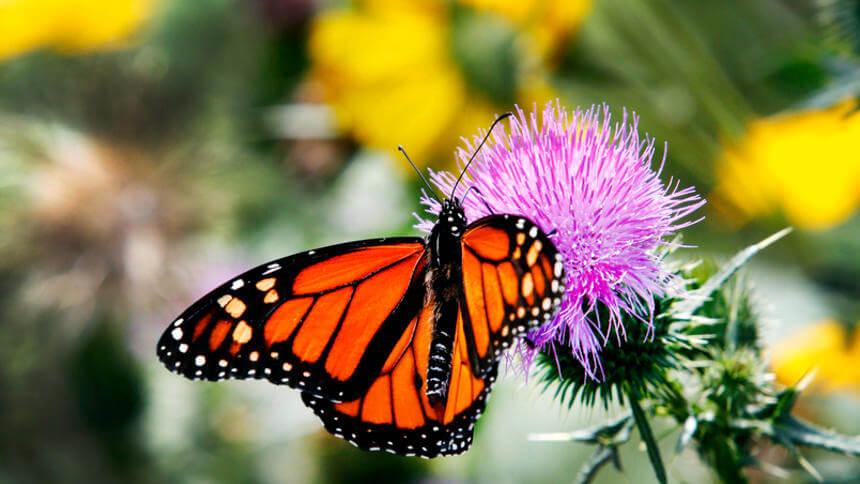 monarch111888474