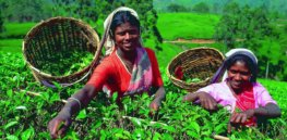 Sri Lankan government lifts glyphosate ban to aid tea growers 'plagued' by weeds, slumping production