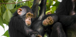 animals hero chimpanzee