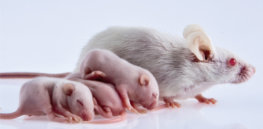 Gene drives could speed up inheritance of certain beneficial traits in mammals, study finds