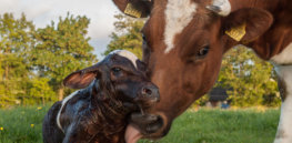 New born Frisian red white calf