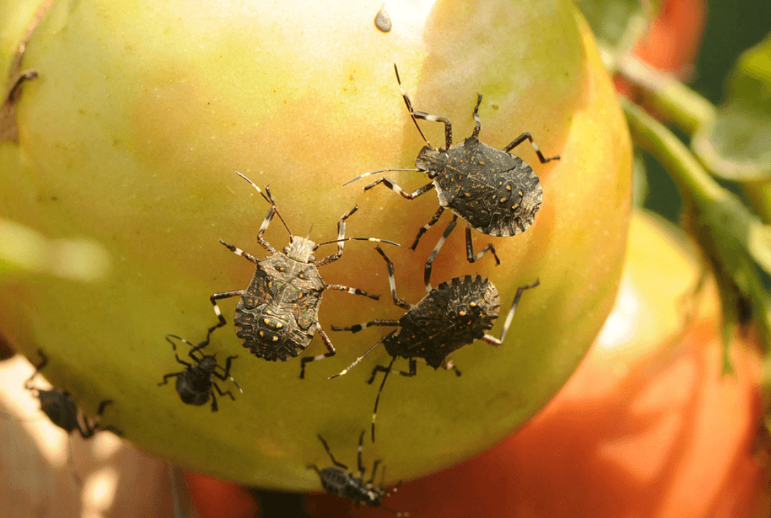Genetic beacon could detect 'invasive scourge' of stinkbugs before they ravage crops