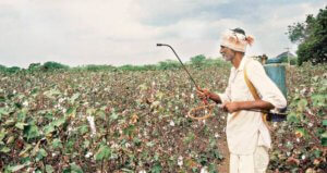 bt cotton