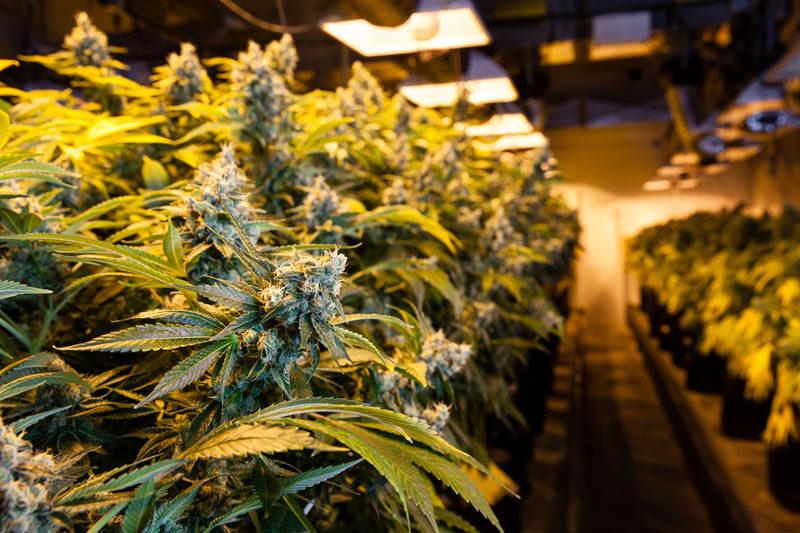 marijuana farm2227584646