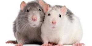 rats 7 20 18