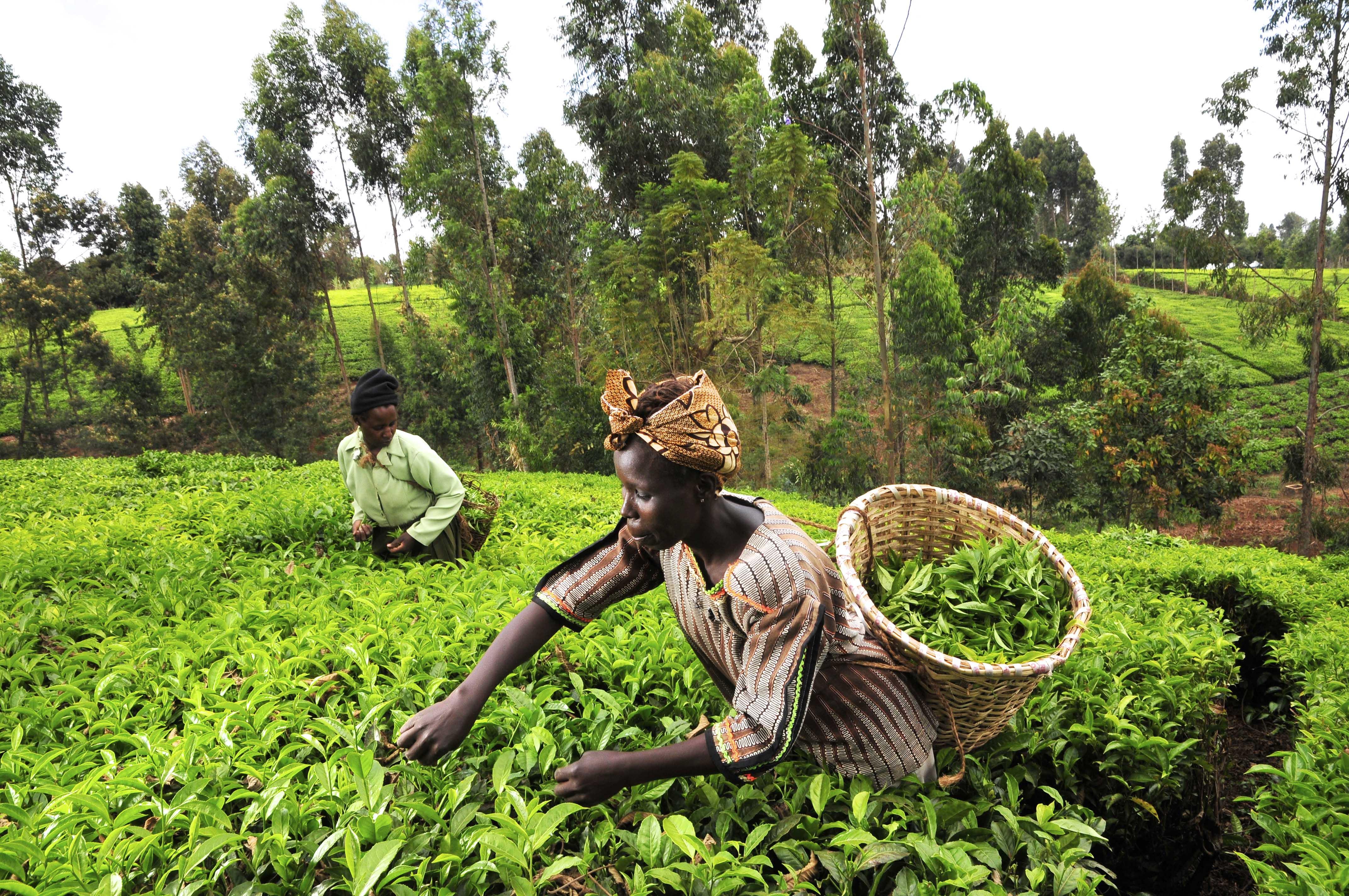 Ghanian former anti-GMO farm leader reverses stance, now backs biotechnology innovation