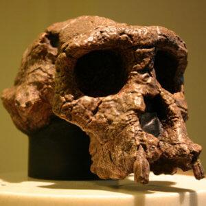 sahelanthropus top