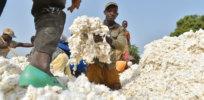 Africas cotton