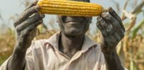 In landmark case, activist attempt to block introduction of GMO corn dismissed by Nigerian High Court