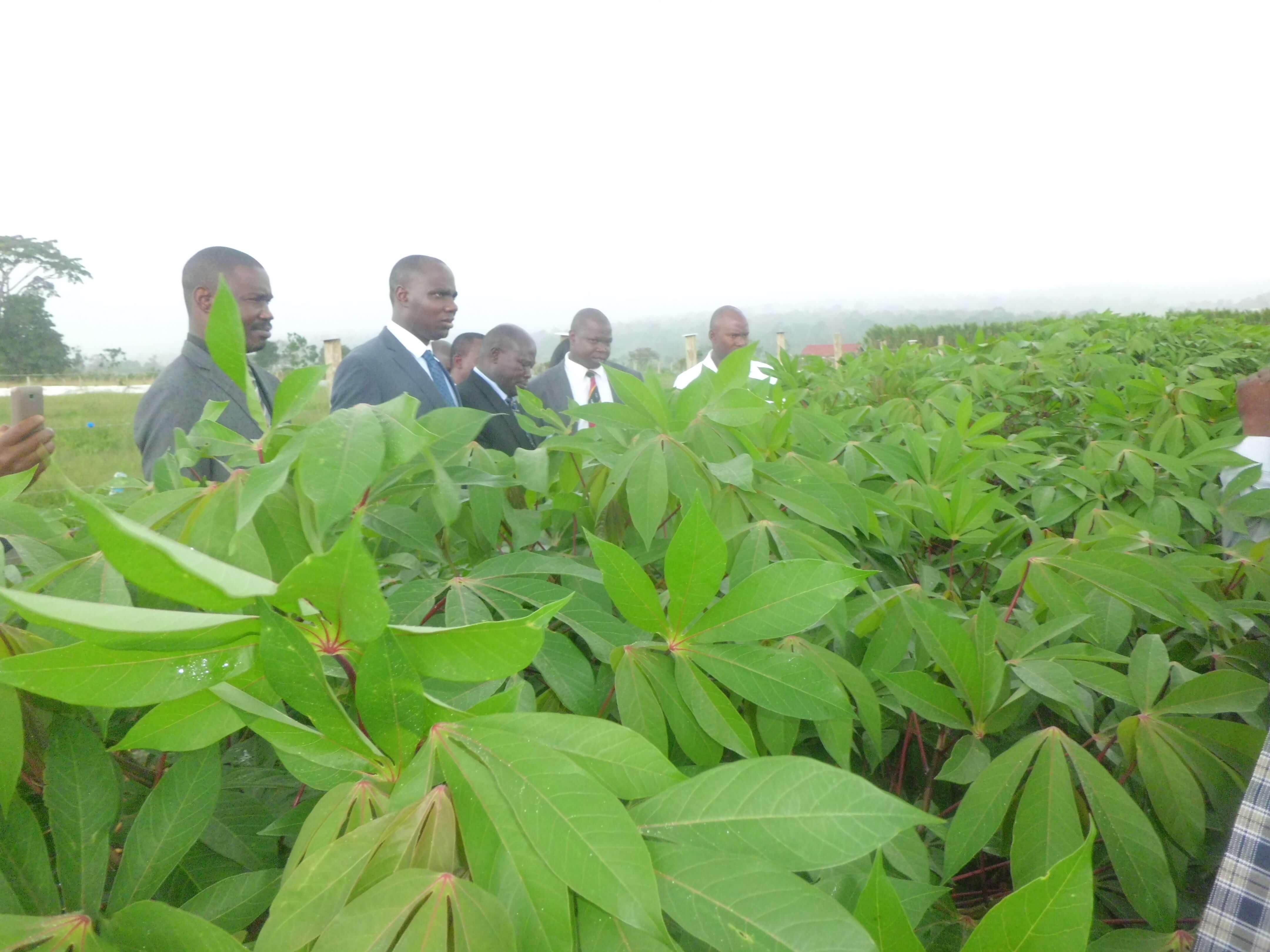 GMO cassava 8 30 18