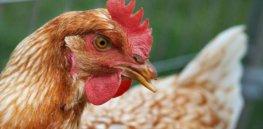 chicken3333