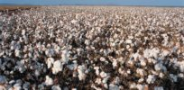 'White gold': GMO cotton renews hope for Nigeria's troubled textile industry