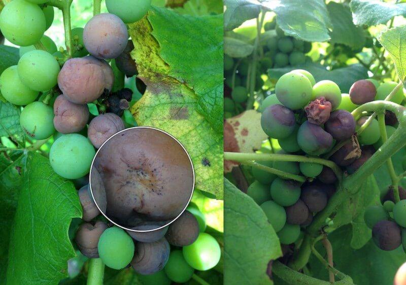 grape rot22222222