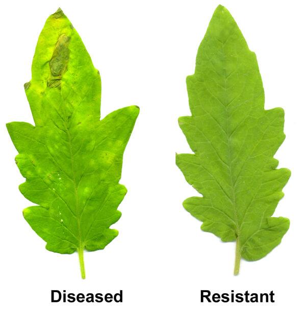 plantdisease33456