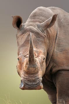 rhino 8 15 18