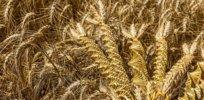 -wheat-weaving-twisted-grain-like