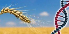 wheatfielddna