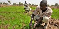 Reisbauern Nigeria x
