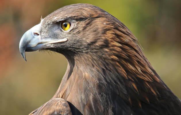 a golden eagle elizabeth jaffin kk