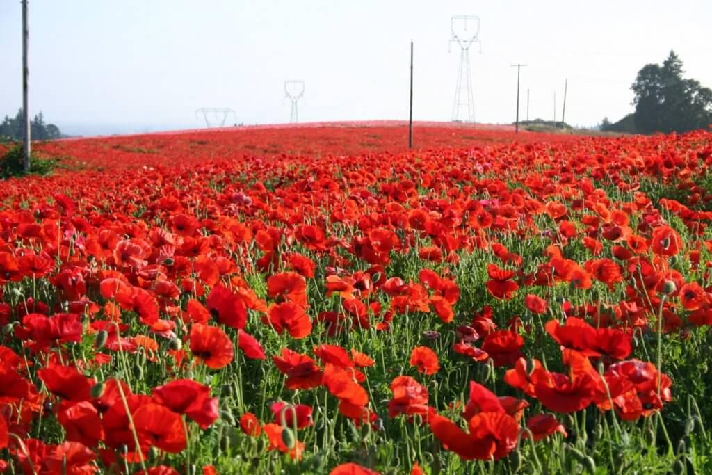 Red Poppy Sturgis