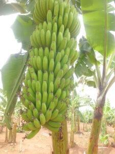 Mature hybrid banana