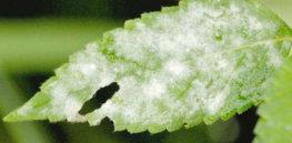 Neoerysiphe galeopsidis