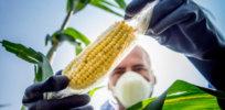 corn 9 12 18
