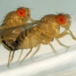 drosophila mating x