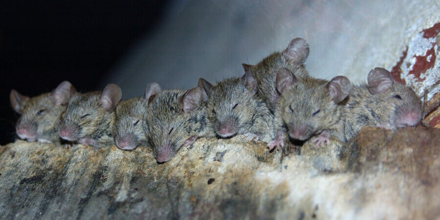 Sleeping Mice
