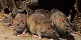 10-3-2018 rats