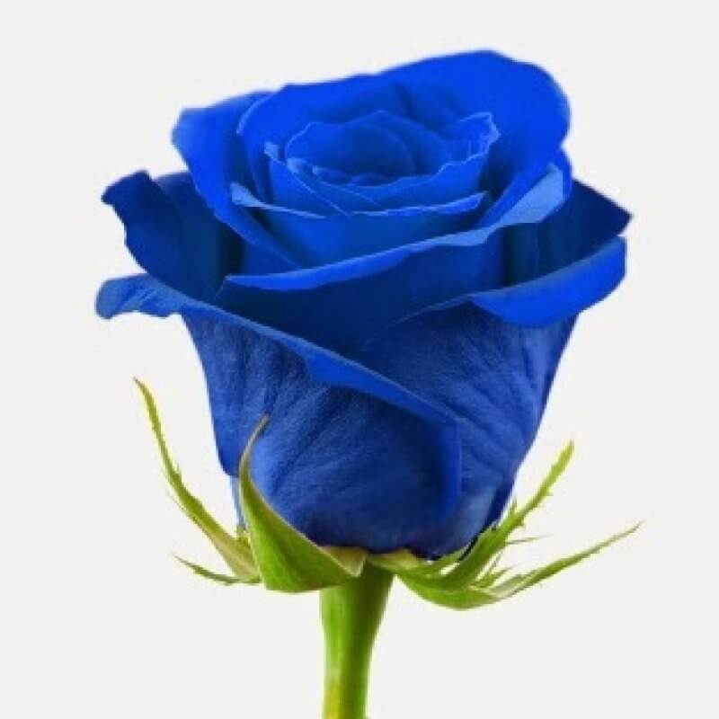 After centuries of failed attempts at breeding a blue rose, biotechnology does the trick