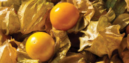 TM Aunt Molly Ground Cherry Seeds