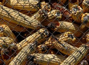 corn 10 19 18
