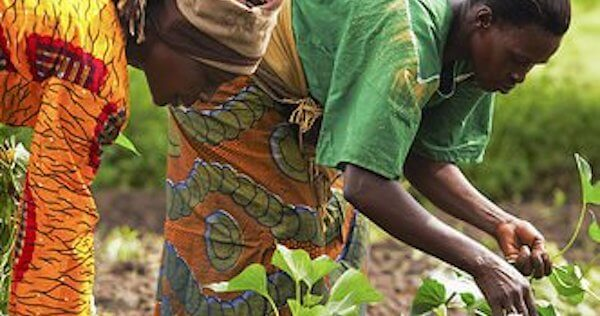Ghana set to introduce GMOs for human consumption, regulators say