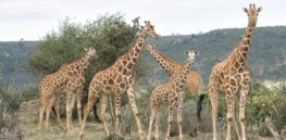 Giraffes ZN