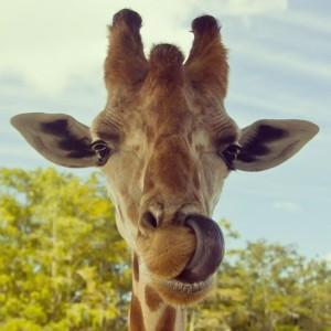 11-1-2018 Giraffes_tongue-300x300