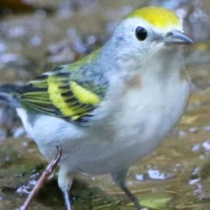 hybrid bird