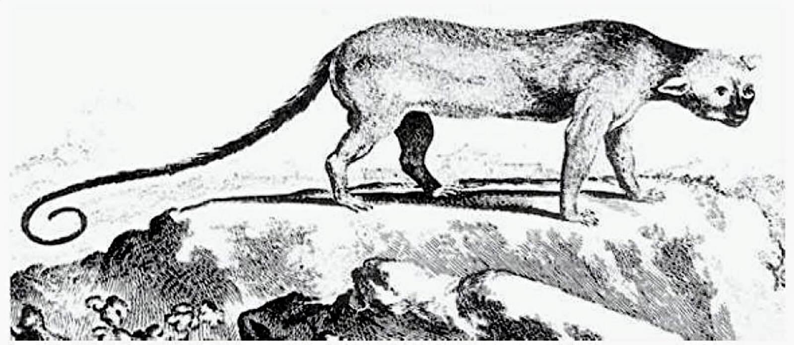 11-16-2018 Poto, mystery Jamaican mammal, possibly Xenothrix
