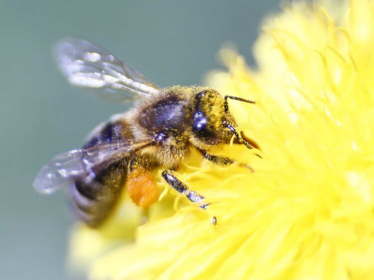 Mapped British honey bee genome could help safeguard hives against infectious disease