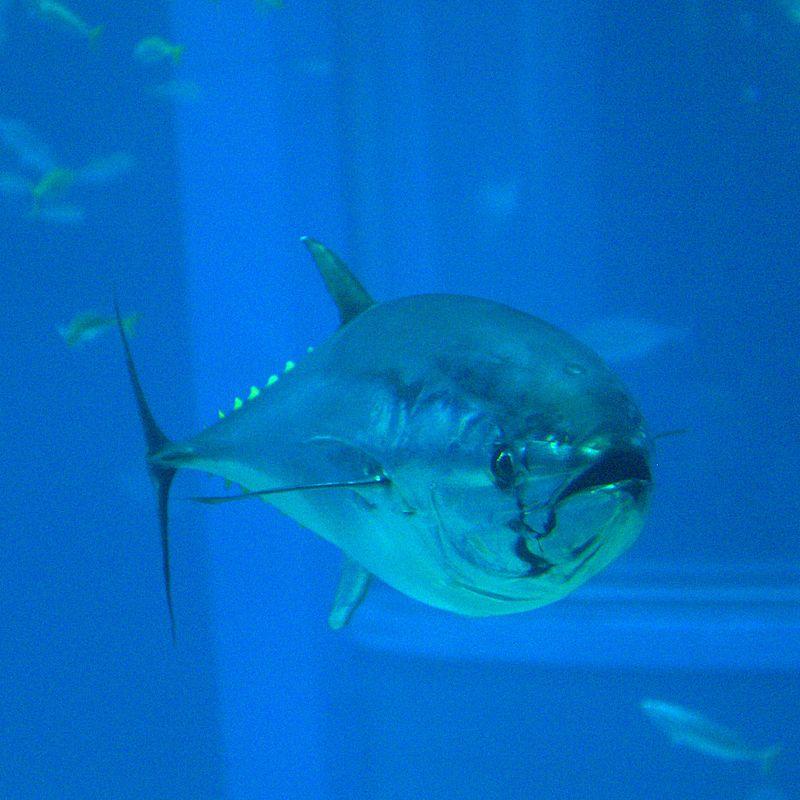 px Thunnus orientalis Osaka Kaiyukan Aquarium